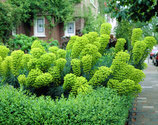 Euphorbia characias 'Wulfenii' / Mittelmeer-Wolfsmilch