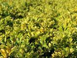 Ilex crenata 'Golden Gem' / Berg Ilex