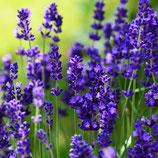 Lavandula angustifolia 'Ellagance Purple' / Lavendel