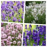 40 x Lavandula angustifolia Mix in 4 Sorten (Lavendel) 1,66 € pro St