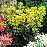 Euphorbia amygdaloides 'Purpurea' / Rotblättrige Wolfsmilch