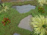 Cotula/Leptinella squalida  / Fiederpolster