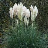 Cortaderia selloana 'Evita' / Pampasgras