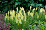 Kniphofia 'Pineapple Popsicle' / Fackellilie Tritome