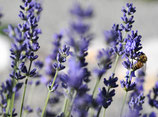 Lavandula angustifolia 'Draft Blue' / Lavendel