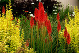Kniphofia 'Redhot Popsicle' / Fackellilie Tritome