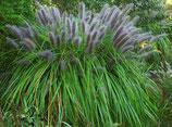 Pennisetum alopecuroides 'Moudry'  / Lampenputzergras