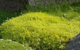 Sagina subulata 'Aurea' / Gold Sternmoos