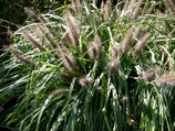 Pennisetum alopecuroides 'Magic' / Lampenputzergras