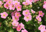 Potentilla fruticosa 'Pink Queen' / Fingerstrauch
