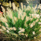 Pennisetum alopecuroides 'Little Honey'/ Lampenputzergras