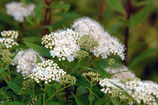 Spiraea japonica 'Albiflora' / Weiße Zwergspiere
