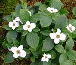 Cornus canadensis / Teppich-Hartriegel