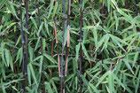 Fargesia nitida 'Black Pearl' / Bambus