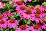 Echinacea purpurea 'PowWow Wild Berry' / Scheinsonnenhut