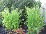 Chasmanthium latifolium / Plattährengras
