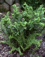 Dryopteris affinis 'Crispa Congesta' / krauser Goldschuppenfarn