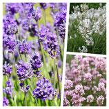 30 x Lavandula angustifolia Mix in 3 Sorten (Lavendel) 1,66 € pro St