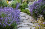 Lavandula angustifolia 'Munstead' / Lavendel