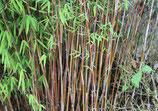Fargesia jiuzhaigou 'Genf' /  Bambus