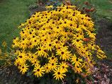 Rudbeckia fulgida 'Goldsturm' / Sonnenhut