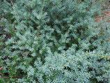 Podocarpus lawrencei 'Blue Gem' / Steineibe