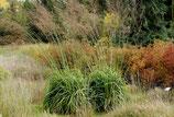 Molina arundinacea 'Windspiel' / Pfeifengras