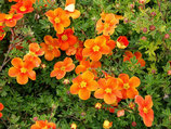 Potentilla fruticosa 'Hopleys Orange' / Fingerstrauch