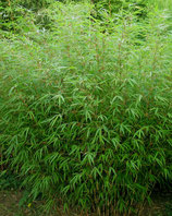 Fargesia Rufa' /  Hecken Bambus