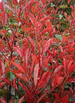 Photinia fraseri 'Little Red Robin' / Rote Zwerg-Glanzmispel