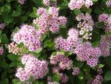 Spiraea japonica 'Little Princess' / Rosa Zwergspiere