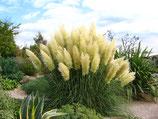 Cortaderia selloana 'Pumila' / Pampasgras