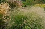 Eragrostis curvula / Afrikanisches Liebesgras