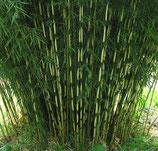Fargesia robusta 'Pingwu' / Bambus