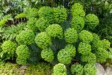 Euphorbia characias  / Mittelmeer-Wolfsmilch