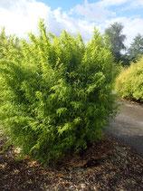 Fargesia nitida 'Volcano' / Bambus
