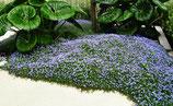 Isotoma fluviatilis /  Blauer Bubikopf Gaudich