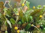 Cotula/Leptinella squalida 'Minima' / Fiederpolster