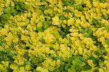 Nummularia lysimachia 'Aurea' / Pfennigkraut