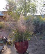 Eragrostis trichoides / Bogen-Liebesgras