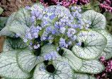 Brunnera macrophylla 'Jack Frost' / Kaukasus Vergissmeinnicht