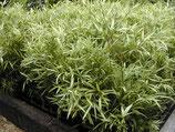 Pleioblastus chino 'Tsuboi' / Zwerg Bambus