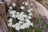 Leontopodium souliei 'Alpina White' / Edelweiss