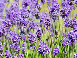 Lavandula angustifolia 'Hidcote Blue' / Lavendel