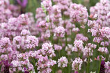 Lavandula angustifolia 'Rosea'  / Lavendel
