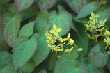 Epimedium perralchicum 'Frohnleiten' / Elfenblume