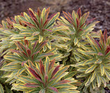 Euphorbia martinii 'Ascot Rainbow' ® / Wolfsmilch