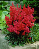 Astilbe arendsii 'Astary Red' / Prachtspiere