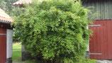Fargesia murielae 'Dino' /  Bambus