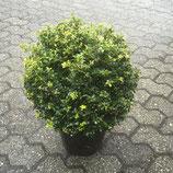 Ilex crenata 'Stokes' Kugel 25 - 35 cm / Berg Ilex